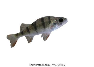 Perch, Perca fluviatilis, single fish in water