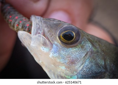 perch and worm