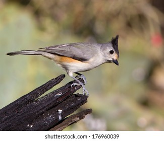 Perched adult Black-crested Titmouse (Baeolophus atricristatus) in the Texas Hill Country