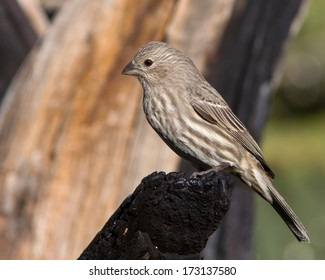 Perched adult female House Finch (Carpodacus mexicanus) in the Texas Hill Country