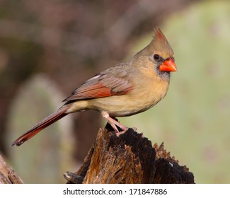 Perched adult female Northern Cardinal (Cardinalis cardinalis) perched on a snapped tree trunk in the Texas Hill Country