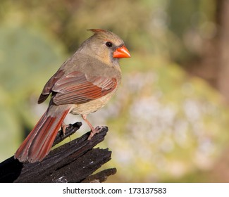 Perched adult female Northern Cardinal (Cardinalis cardinalis) on a snapped tree trunk in the Texas Hill Country