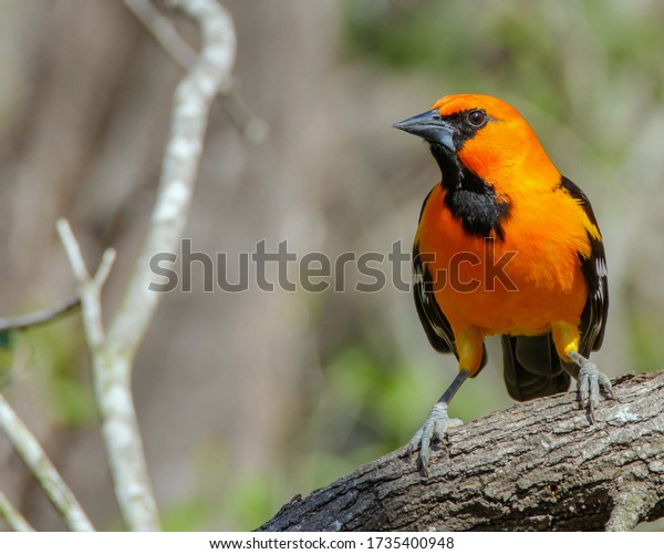Perched Altamira Oriole in South Texas