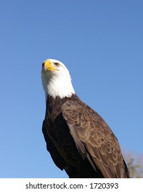 A perched Bald Eagle against a dark blue sky background