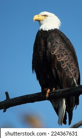 Perched Bald Eagle with a blue sky background