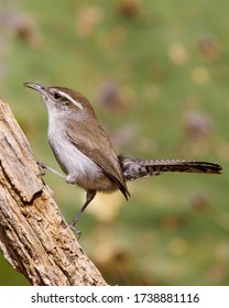 Perched Bewick's Wren in South Texas