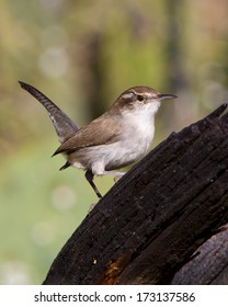 Perched Bewick's Wren (Thryomanes bewicii) in the Texas Hill Country