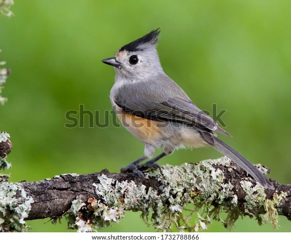 Perched Black-crested Titmouse in Central Texas