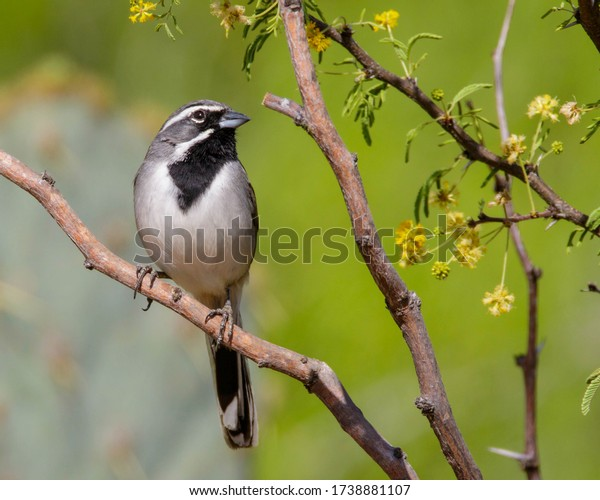 Perched Black-throated Sparrow in South Texas
