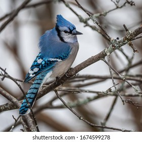 Perched Blue Jay in Algonquin Provincial Park, Ontario, Canada, March 13th 2020