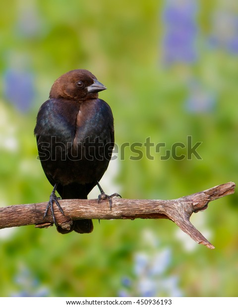Perched Brown-headed Cowbird