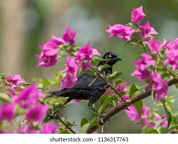 Perched Carib Grackle
