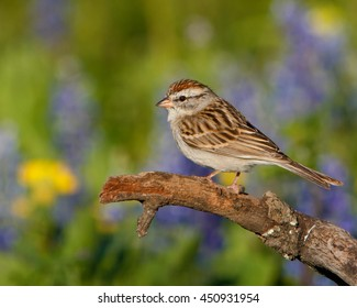 Perched Chipping Sparrow