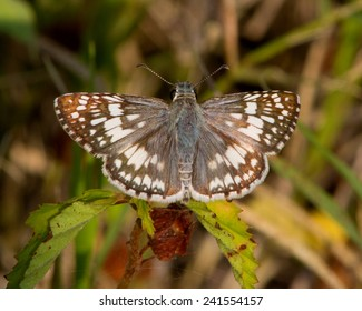 Perched Common Checkered-Skipper butterfly