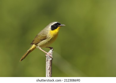 A perched common yellowthroat warbler.