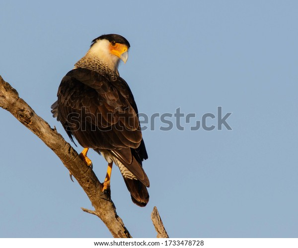 Perched Crested Caracara in South Texas