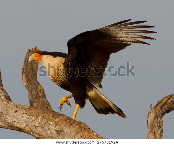 Perched Crested Caracara spreading its wings