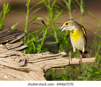 Perched Dickcissel in South Texas