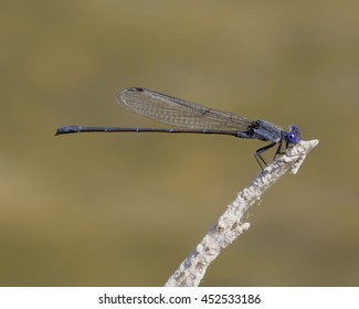 Perched Dusky Dancer damselfly