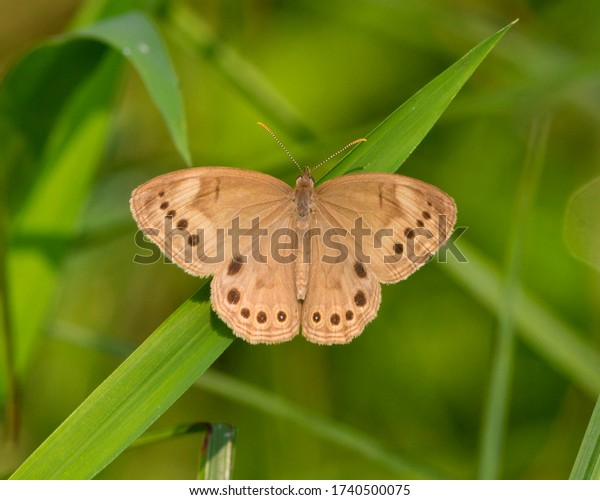 Perched Eyed Brown butterfly in Southwestern Ohio