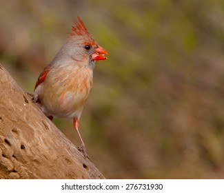 Perched female Northern Cardinal