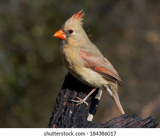 Perched Female Northern Cardinal (Cardinalis cardinalis) in the Texas Hill Country