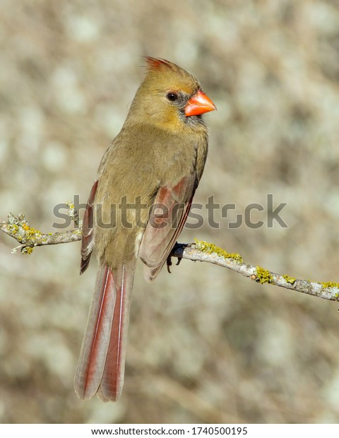 Perched female Northern Cardinal in South Texas.