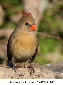 Perched female Northern Cardinal in the Texas Hill Country