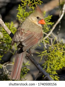 Perched female Northern Cardinal in West Texas.