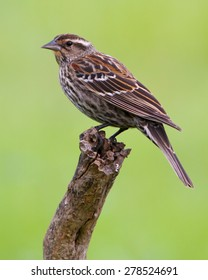 Perched female Red-winged Blackbird