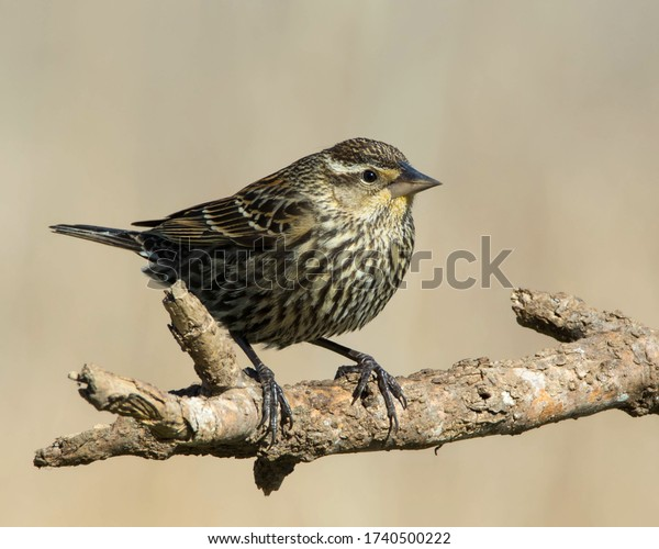 Perched female Red-winged Blackbird in the Texas Hill Country