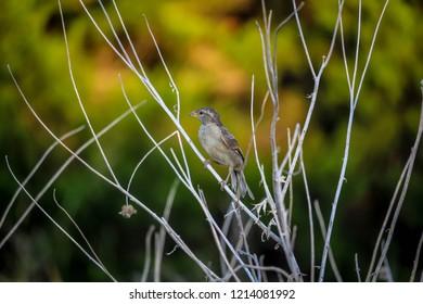 Perched Fledgling Sparrow