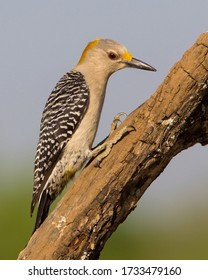 Perched Golden-fronted Woodpecker in South Texas