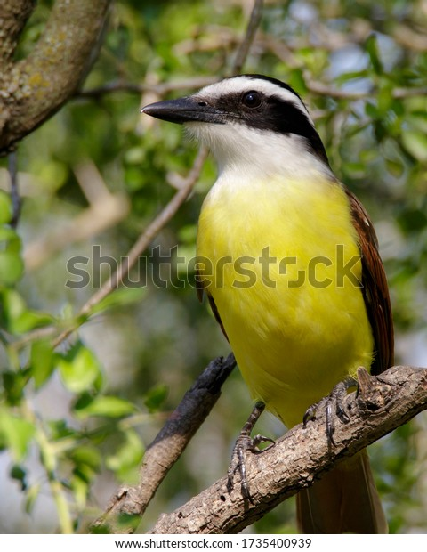 Perched Great Kiskadee in South Texas