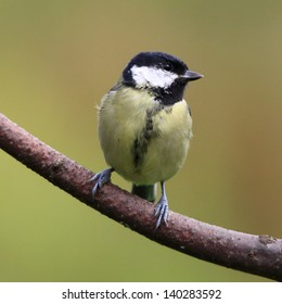 A perched Great tit on a stick