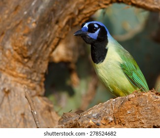 Perched Green Jay