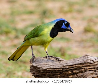 Perched Green Jay in South Texas