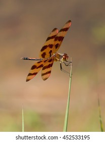 Perched Halloween Pennant on an eastern North Carolina wetland