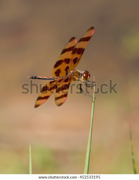 Perched Halloween Pennant on an eastern North Carolina wetland