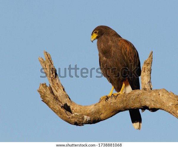 Perched Harris's Hawk in South Texas