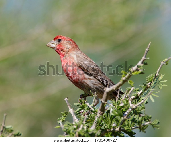 Perched House Finch in South Texas
