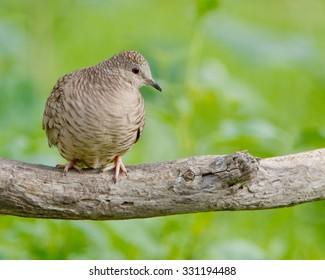 Perched Inca Dove