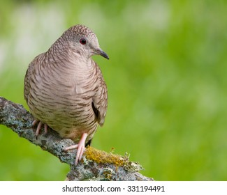 Perched Inca Dove