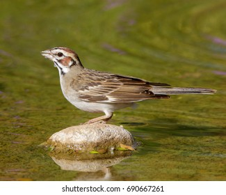 Perched Lark Sparrow in South Texas