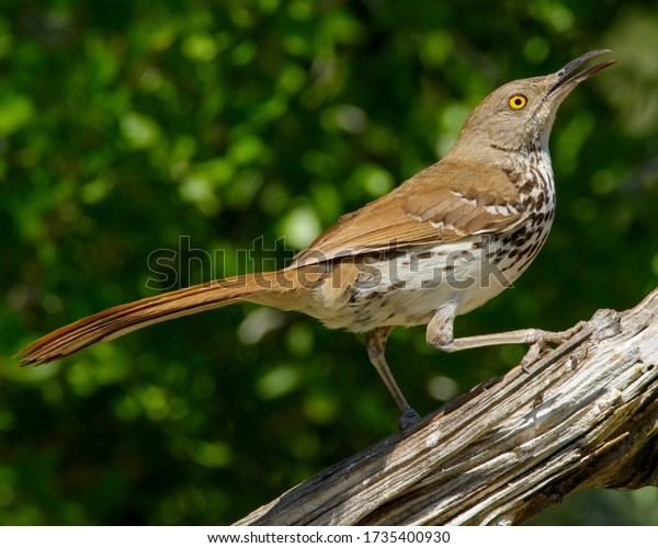 Perched Long-billed Thrasher in South Texas
