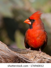 Perched male adult Northern Cardinal (Cardinalis cardinalis) in the Texas Hill Country