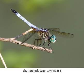 Perched male Blue Dasher dragonfly (Pachydiplax longipennis) near a wetland in Uvalde County in South Texas.