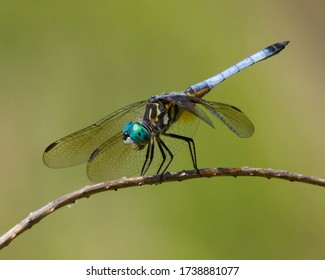 Perched male Blue Dasher over a wetland in West Texas.