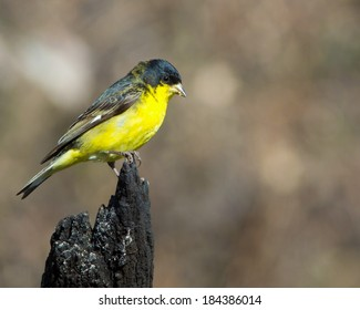 Perched male Lesser Goldfinch (Spinus psaltria) in the Texas Hill Country