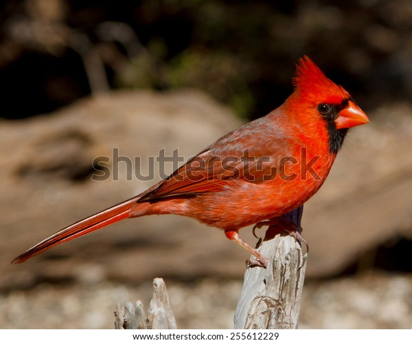 Perched Male Northern Cardinal